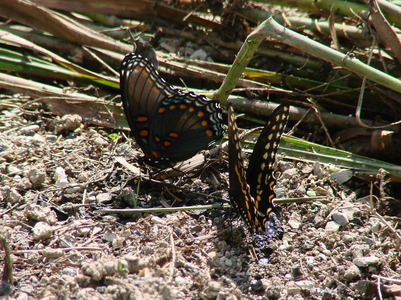 Butterflies @ Shaw NR