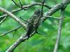 Ruby-throated Hummingbird @ Grand Glaize Creek