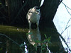 Black-crowned Night Heron @ Clarence Cannon NWR