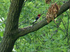 Red-headed Woodpecker @ Creve Coeur Park