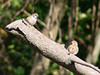 Eurasian Tree Sparrows @ Parkway CHS