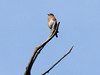 Eastern Bluebird @ Route 66 State Park