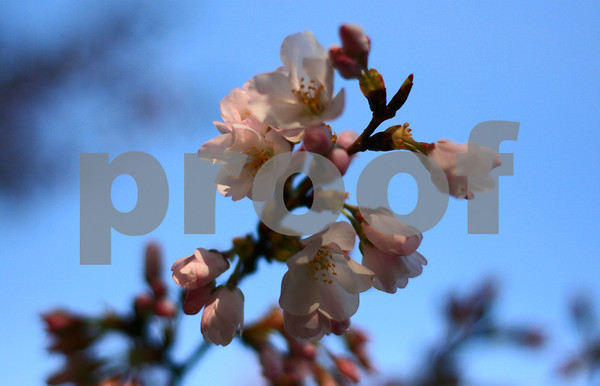 2008 Cherry Blossom Festival DC