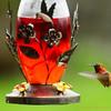 Rufous Hummingbird JAS7749
