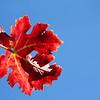 The Last Red Leaf (Самый последний Красный Лист).