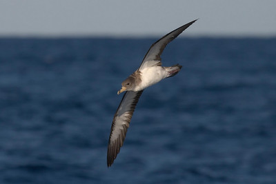 Two subspecies of Cory's Shearwater occur off North Carolina; the nearly entirely dark outer primaries on this individual identify it as _borealis_, which is the Atlantic subspecies.