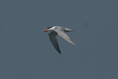 Royal Terns are occasionally seen far offshore, but are abundant in the near shore waters.