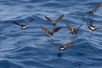 Pattering Wilson's Storm-Petrels are a constant presence when the chum slick is working well.