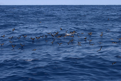 On several days this year, we attracted a large number of Wilson's Storm-Petrels to our chum slick.