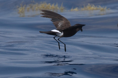 This Wilson's Storm-Petrel is an adult in pre-basic molt.