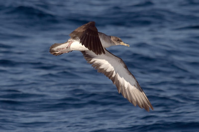 The extensive white in all of the outer primaries on this Cory's Shearwater indicate that this is likely the nominate subspecies _diomedea_, sometimes called Scopoli's Shearwater.