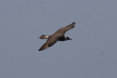 A dorsal view of the first-summer Parasitic Jaeger.