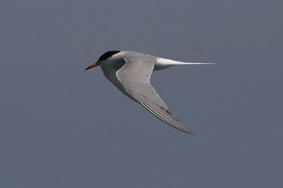 We saw a couple of offshore Common Terns on most days; one day we saw an Arctic.