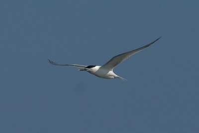 Sandwich Terns are common near shore, and we saw several each day on the way back to the marina.