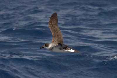Black-capped Petrels show a range of variation from light to dark; this is a very dark individual.