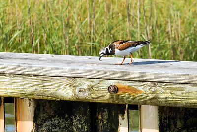 This Ruddy Turnstone was sitting on a pier as we returned to the marina.