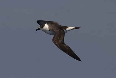 This Black-capped Petrel is one of the light/intermediate individuals.
