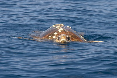 We saw one to several of these giant Loggerhead Turtles most days.