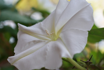 moon flower 01