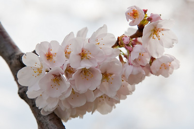 Cherry Blossom, Tidal Basin, Washington D.C.