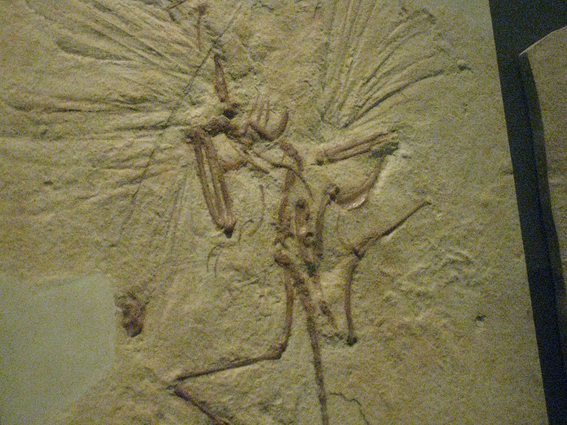 "an Archaeopteryx -  thought to be a ""transitional fossil"" aka a link between dinosaurs and birds."