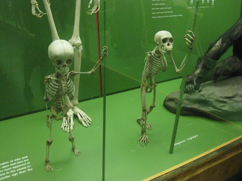 Human child replica next to chimp child replica