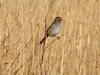 Field Sparrow @ Columbia Bottom CA