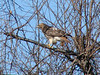 Red-tailed Hawk @ Parkway CHS