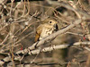 Hermit Thrush @ Simpson Lake CP