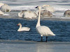 Tundra Swan [Juvenile] & Trumpeter Swan @ Riverlands MBS