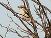 Northern Shrike @ Blue Grosbeak Trail