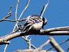 Downy Woodpecker (Female) @ Simpson Lake CP