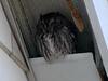 Eastern Screech Owl @ Kirkwood