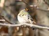 Golden-crowned Kinglet @ Forest 44 CA