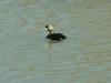 April 4, 2009 - (Riverlands Migratory Bird Sanctuary [Ellis Bay] / West Alton, Saint Charles County, Missouri) -- Pied-billed Grebe