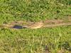 April 3, 2009 - (Castlewood State Park / Ballwin, Saint Louis County, Missouri) -- Vesper Sparrow
