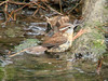 April 5, 2009 - (August A. Busch Memorial Conservation Area [Fallen Oak Trail] / Weldon Springs, Saint Charles County, Missouri) -- Carolina Wren bathing