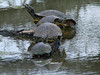 April 5, 2009 - (August A. Busch Memorial Conservation Area [Hampton Lake] / Weldon Springs, Saint Charles County, Missouri) -- Turtles