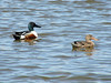 April 11, 2009 - (Eagle Bluffs Conservation Area / Boone County, Missouri) -- Northern Shovelers
