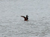 April 1, 2009 - (Simpson Lake County Park [on the lake] / Valley Park, Saint Louis County, Missouri) -- Ruddy Duck