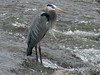 April 14, 2009 - (Simpson Lake County Park [spillway] / Valley Park, Saint Louis County, Missouri) -- Great Blue Heron