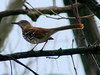 April 1, 2009 - (Simpson Lake County Park [from bicycle trail] / Valley Park, Saint Louis County, Missouri) -- Brown Thrasher