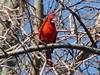 April 7, 2009 - (Parkway Central High School [over wooded trail] / Chesterfield, Saint Louis County, Missouri) -- Northern Cardinal