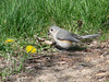 April 7, 2009 - (Simpson Lake County Park [from bicycle trail] / Valley Park, Saint Louis County, Missouri) -- Tufted Titmouse