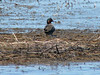 April 11, 2009 - (Eagle Bluffs Conservation Area / Boone County, Missouri) -- Green-winged Teal