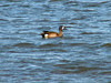 April 4, 2009 (Columbia Bottom Conservation Area [flooded farm field] / Spanish Lake, Saint Louis County, Missouri) -- Blue-winged Teal