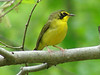 May 3, 2009 - (Rockwoods Reservation / Wildwood, Saint Louis County, Missouri) -- Kentucky Warbler