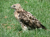 July 27, 2009 - (Parkway Central High School / Chesterfield, Saint Louis County, Missouri) -- Immature Red-tailed hawk