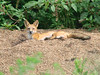 August 3, 2009 - (Parkway Central High School [under radio tower] / Chesterfield, Saint Louis County, Missouri) -- Red Fox lying atop a pile of gravel