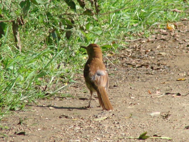 July 13, 2009 - (Parkway Central High School / Chesterfield, Saint Louis County, Missouri) -- Brown Thrasher